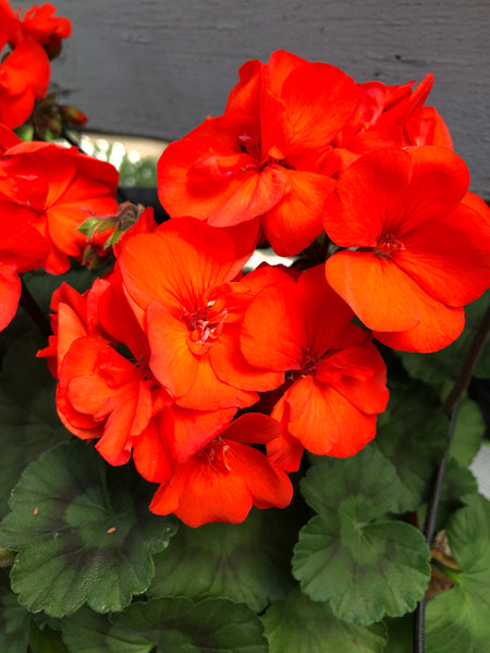 Geranium Zonal Fantasia Orange