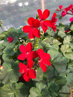 Geranium Mounding Caliente Fire