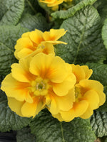 Primula Yellow Eye