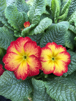 Primula Yellow Red Bicolour