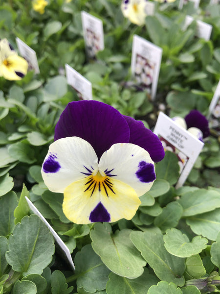 Viola Penny White Jump-Up