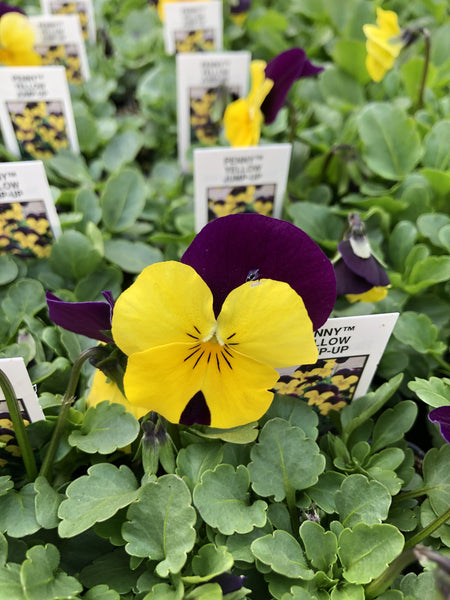 Violas Penny Yellow Jump-Up 4 Pack
