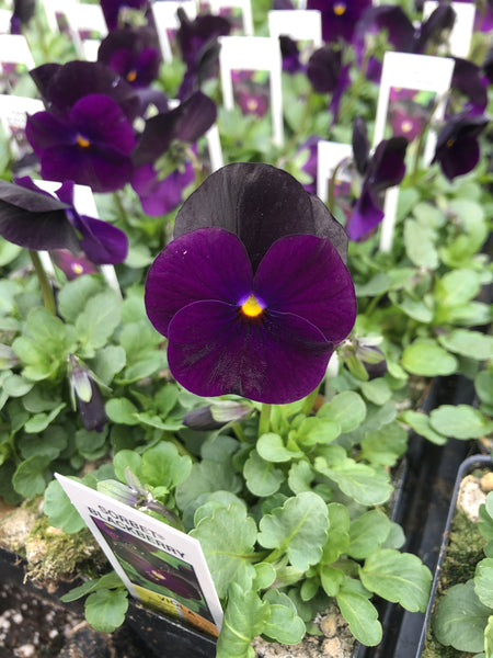 Violas Sorbet Blackberry 4 Pack
