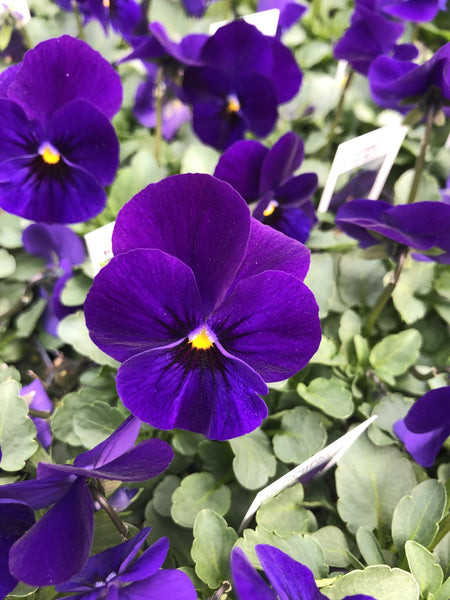 Violas Sorbet Blue Blotch