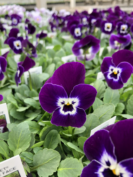Violas Sorbet Purple Face