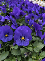Violas Sorbet True Blue