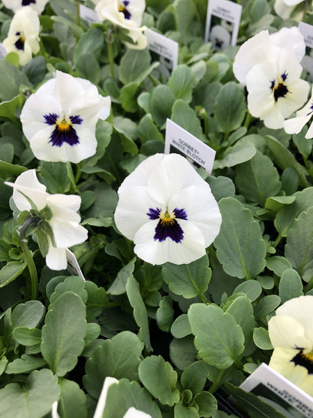 Violas Sorbet White Blotch 4 Pack