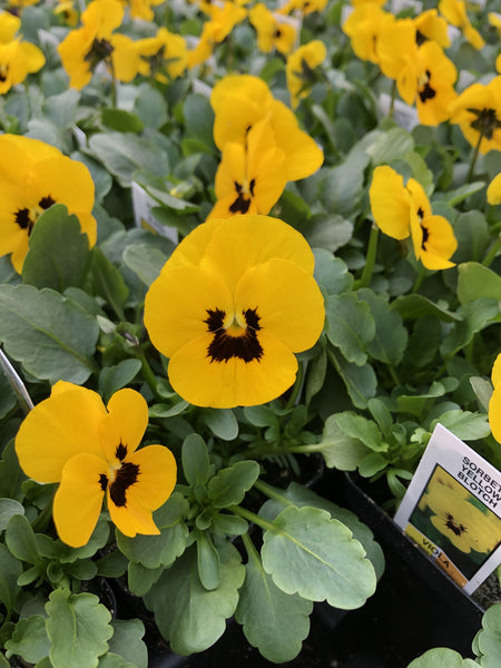 Violas Sorbet Yellow Blotch 4 Pack