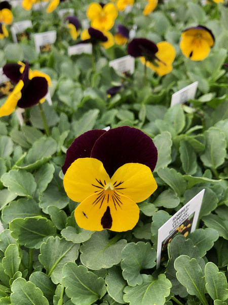 Violas Sorbet Yellow Burgundy Jump-Up