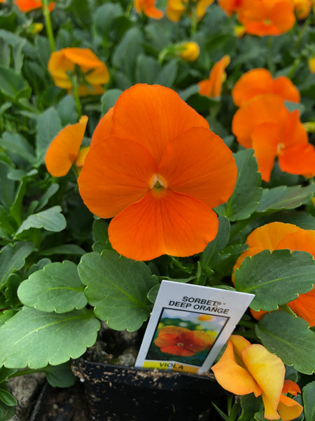 Violas Sorbet Deep Orange