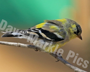 """Dreamy Goldfinch"" 8x10"