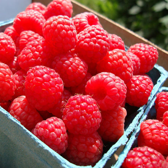 Raspberry (Ontario Grown)
