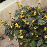 Spilanthes 'Peek-a-Boo'