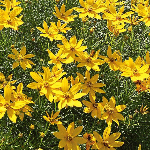 Coreopsis Native Faves