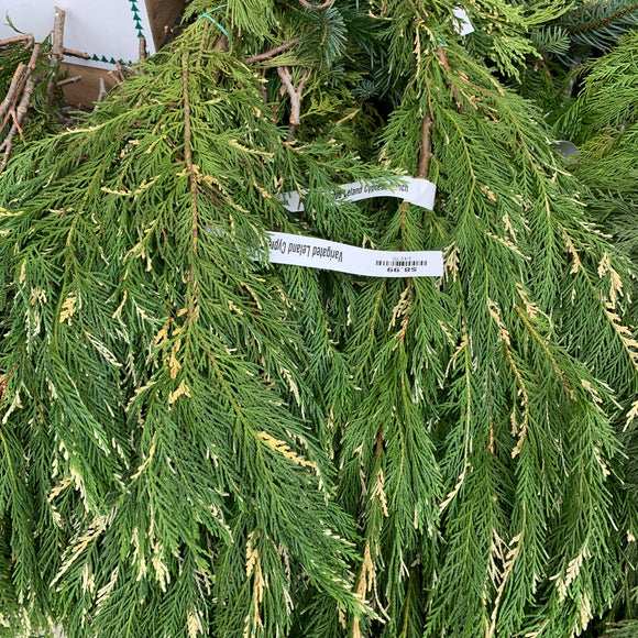 Variegated Leland Cypress Bunch