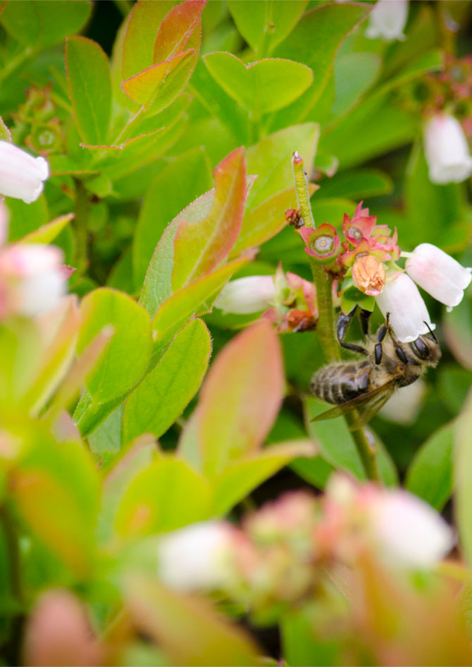 A bee pollinates the flower from a wild blueberry bush.