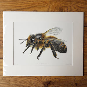 'Cornish Black Bee' Giclée print