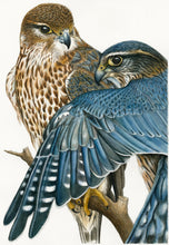 Load image into Gallery viewer, 'Merlin Falcons' card