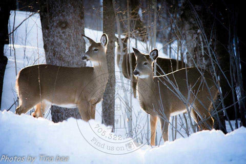 Photos by Tina Bee - Deer in Snow