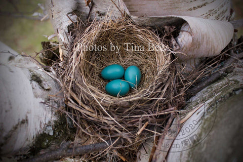 Photos by Tina Bee - Robins Eggs