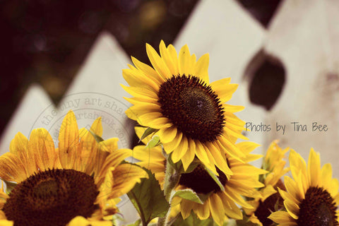 Photos by Tina Bee - Sunflowers