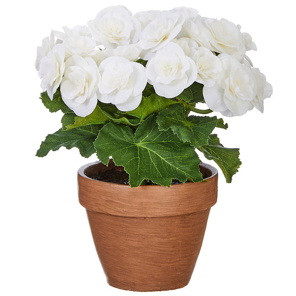 "10.5"" Potted White Begonia"