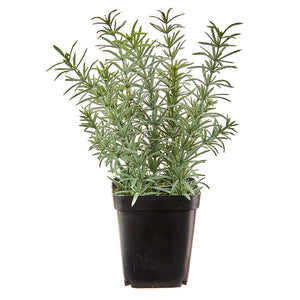 "8"" Potted Rosemary"