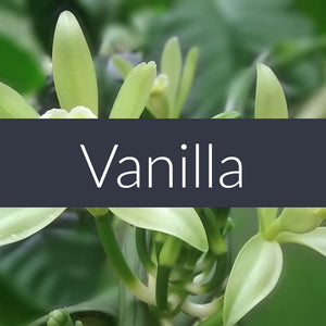 Vanilla Absolute Essential Oil