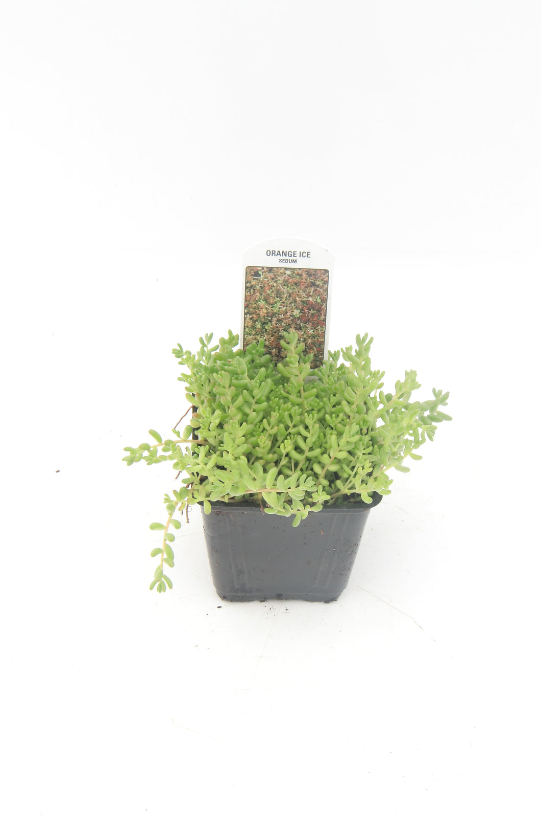 Ground Cover - Sedum album 'Orange Ice' (4 Inch)