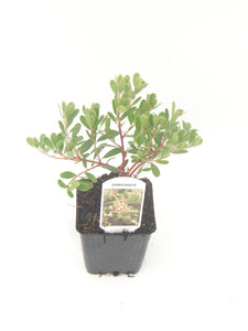 Ground Cover - Arctostaphylos 'Massachusetts Kinnikinnick' (4 Inch)