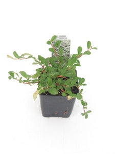 Ground Cover - Cotoneaster dammeri 'Bearberry' (4 Inch)