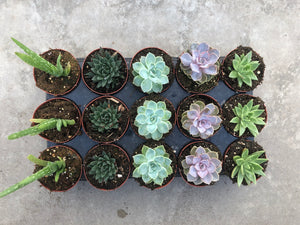 A SPECIAL - Assorted 15 Pot Tray (4 Inch)