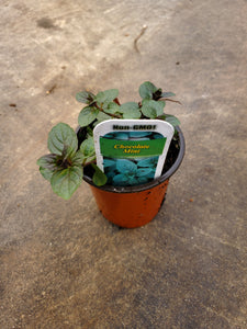 Herb - Mint 'Chocolate' (3.5 Inch)