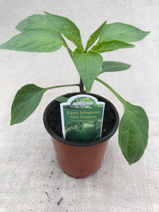 Pepper - Capsicum 'Early Jalapeno - Hot Pepper' (3.5 Inch)