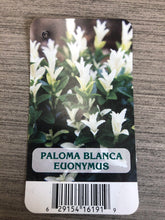 Load image into Gallery viewer, Shrub - Euonymus japonicus 'Paloma Blanca' (1 Gallon)
