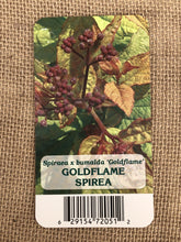 Load image into Gallery viewer, Shrub - Spiraea x bumalda 'Goldflame Spirea' (4 Inch)