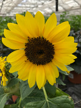 Load image into Gallery viewer, Annual - Helianthus 'Choco SunFlower' (1 Gallon)