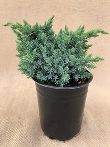 Shrub - Juniperus squamata 'Blue Star Juniper' (1 Gallon)