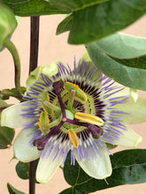 Load image into Gallery viewer, Staked/Vines - Passiflora caerulea 'Blue Passionflower' (1 Gallon)