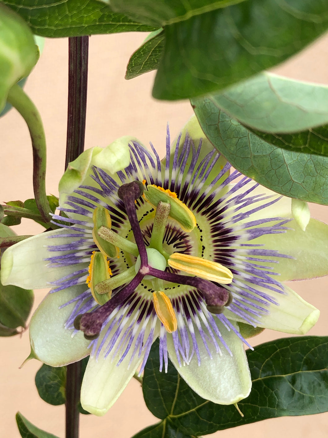 Staked/Vines - Passiflora caerulea 'Blue Passionflower' (1 Gallon)
