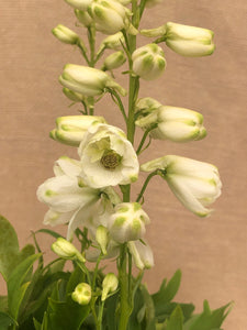 Perennial - Delphinium 'Guardian White' (1 Gallon)