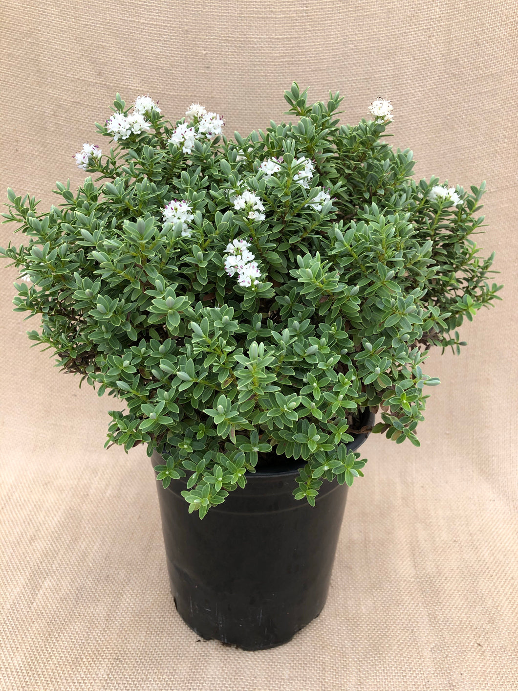 Shrub - Hebe topiaria 'Topiaria' (1 Gallon)