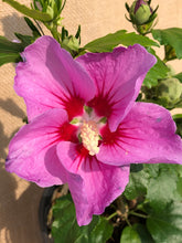 Load image into Gallery viewer, Shrub - Hibiscus syriacus 'Rose of Sharon' (1 Gallon)