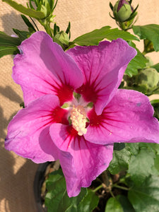 Shrub - Hibiscus syriacus 'Rose of Sharon' (1 Gallon)