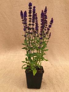 Perennial - Salvia 'New Dimensions Blue' (4 Inch)