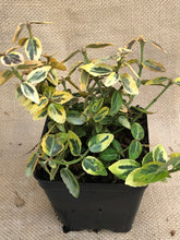 Load image into Gallery viewer, Shrub - Euonymus fortunei 'Emerald & Gold' (4 Inch)