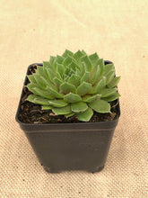 Load image into Gallery viewer, Succulent - Sempervivum 'Ruby Heart Hens & Chicks' (4 inch)