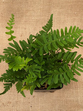 Load image into Gallery viewer, Fern - Polypodium glycyrrhiza 'Licorice Fern' (4 Inch)