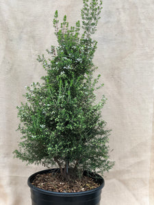 Shrub - Erica canaliculata 'Pink Tree Heath' (3 Gallon)