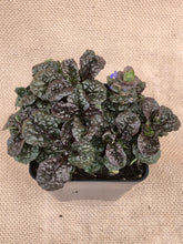 Load image into Gallery viewer, Ground Cover - Ajuga 'Metallica Crispa Bugleweed' (4 inch)
